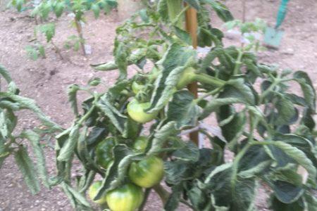 新鮮夏野菜収穫始まりました♪